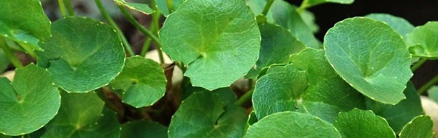Gotu Kola - Pflanze, grüne Blätter