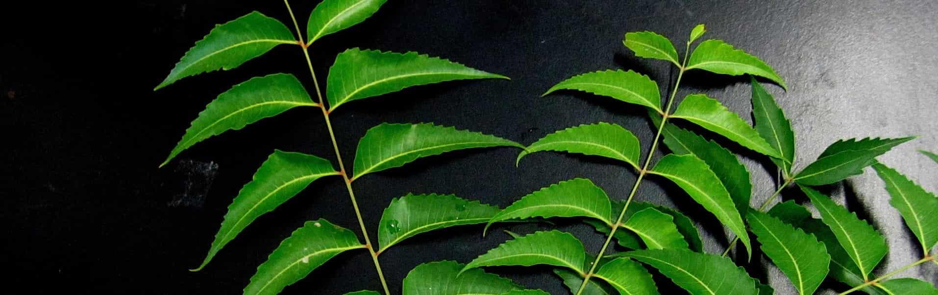 Neem (Niembaum), Neemblätter, grün, Zweige