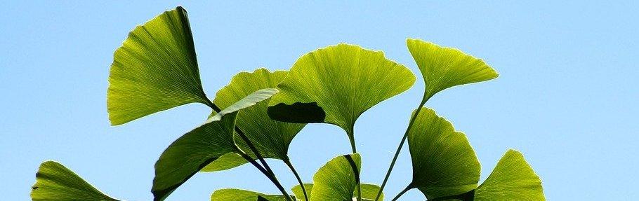 Ginkgo biloba - Blätter vom Ginkgo Baum