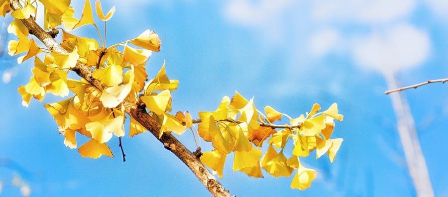 Ginkgobaum im Herbst, orange Blätter
