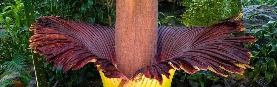 ausgewachsene Konjak-Pflanze / Konjakwurzel - im Gewächshaus