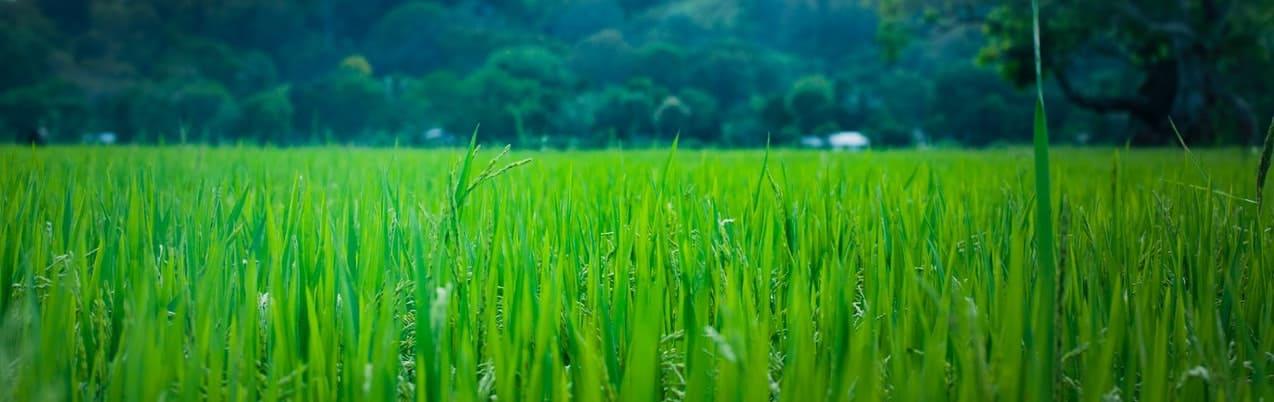 weizengras - jung, auf dem Feld