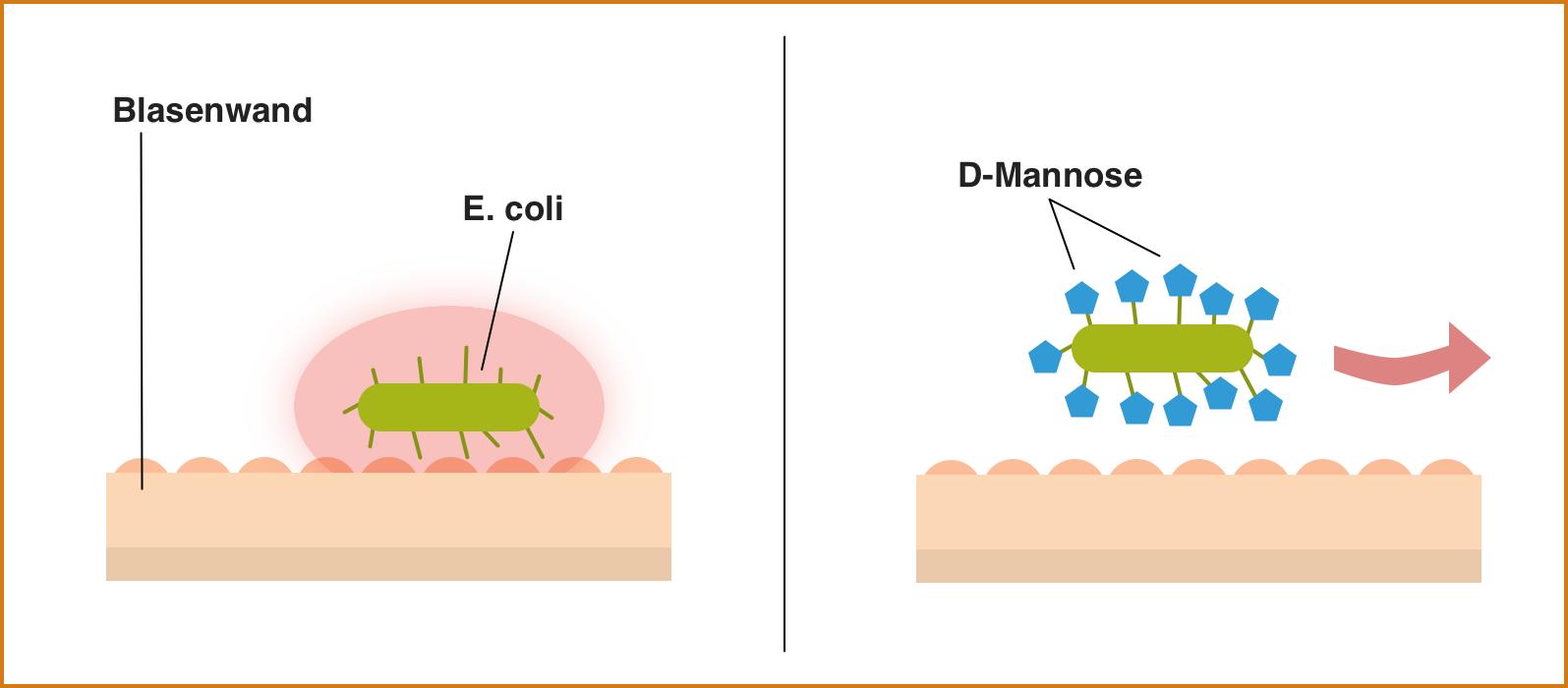 D-Mannose, potentielle Wirkung bei Blasenentzündung, E. coli wird von D-Mannose Molekülen ummantelt und über den Urin ausgeschieden