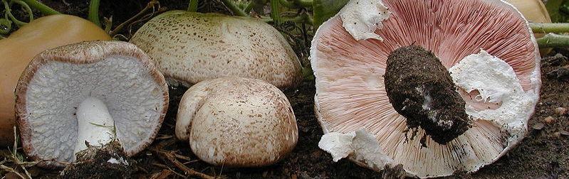 Agaricus blazei Murrill, Hut und Lamellen, Waldboden